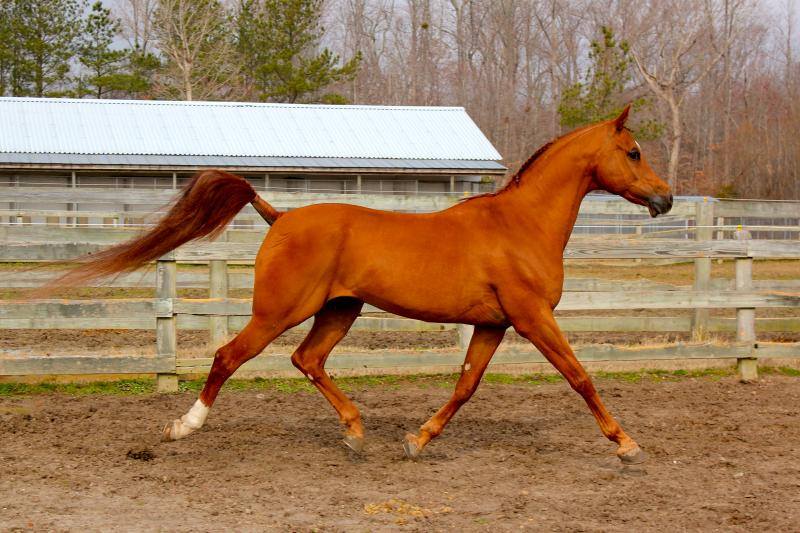 Romeo at extended trot!